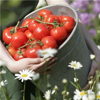 La tomate: une star facile à conserver